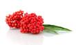 ripe elderberries on a white background