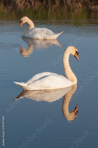 Swans reflected in water