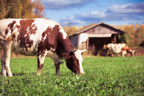 Two spotted cows on a green meadow