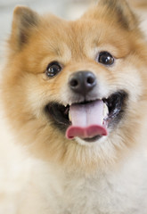 Close up of Pomeranian dog's face