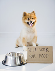 Pomeranian dog next to sign Will Work for Food