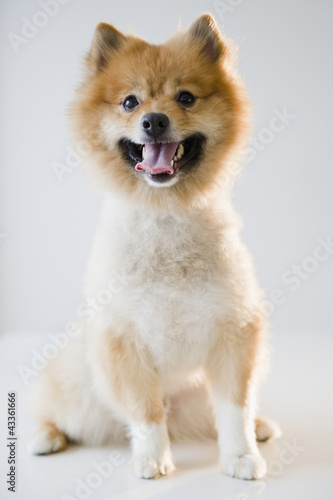 Portrait of Pomeranian dog