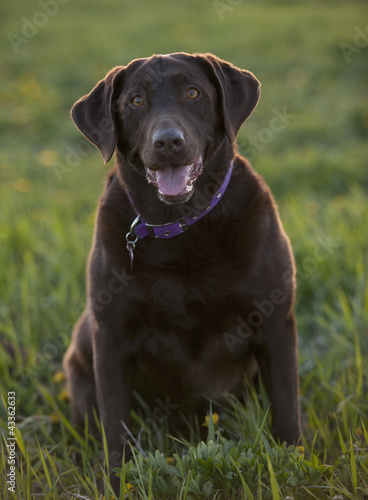 Chocolate Labrador sitting in grass