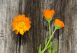 medical herb calendula flowers on wooden background