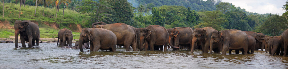 panorama of elephant herd in water, Pinnawala, Sri Lanka