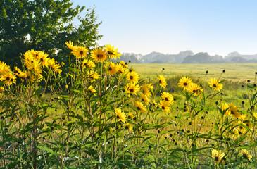 Helianthus decapetalus, Sonnenblumen vor ländlicher Kulisse