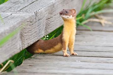 Flexible Weasel