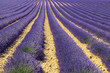 lavender field in the region of Provence