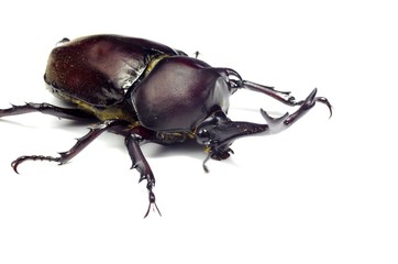 カブトムシ ‐Japanese rhinoceros beetle‐