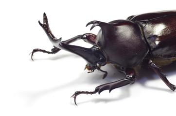 カブトムシ ‐Trypoxylus dichotomus‐