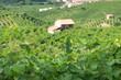 colline del Prosecco a Valdobbiadene