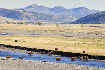 Buffalo in landscape at Yellowstone