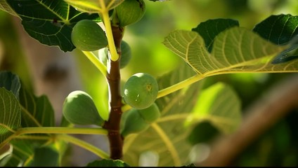 Figs on green fig tree