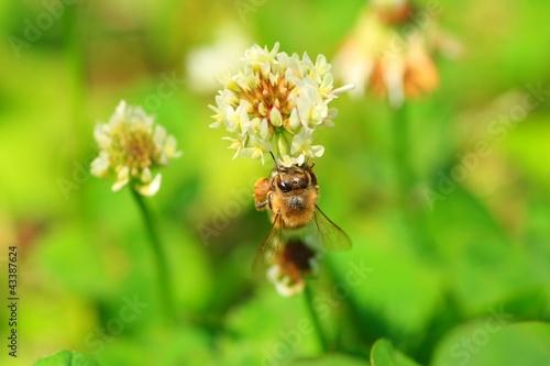 クローバーで蜜を集めるみつばち