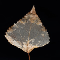 anatomy of dead poplar leaf over black
