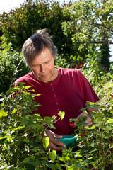 Aktiver älterer Mann erntet in seinem Garten rote Johannisbeere