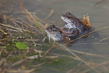 Frogs in spring