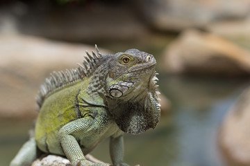 Green Iguana bathing in the sun, Aruba