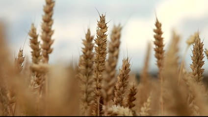 Detail of wheat field