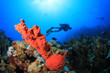 Scuba Diver swims over coral reef with red sponge