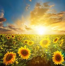Paysage d'été: la beauté coucher de soleil sur champ de tournesols