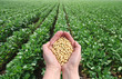 Soybean in hands with soy field in background - 43400419