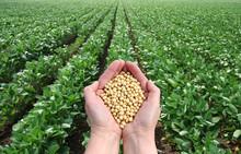 Soja w ręce z pola soi w tle
