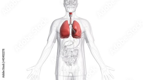 A body which is transparent apart from the lungs.