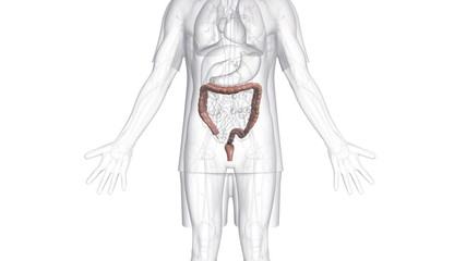 A body which is transparent apart from the large intestine.