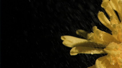 Yellow chrysanthemum in super slow motion receiving water