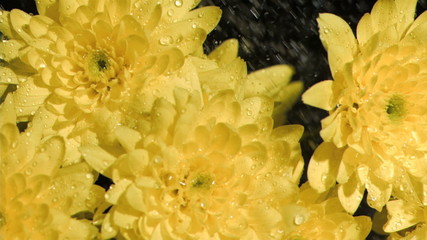 Yellow flowers in super slow motion being sprinkled