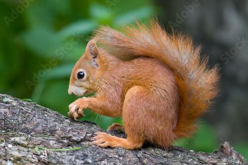 Plexiglas Eekhoorn Eichhörnchen
