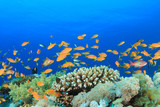 Beautiful Coral with with Tropical Fish (Lyretail Anthias)
