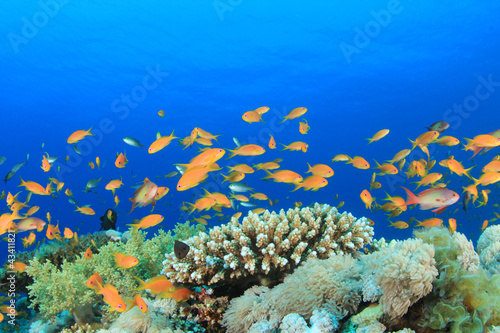 Fototapeta Beautiful Coral with with Tropical Fish (Lyretail Anthias)