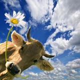 Fototapety Geburtstag: Kuh schenkt eine Blume