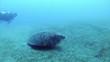 hawksbill sea turtle   turtle and diver 1080p