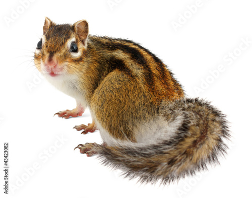 Chipmunk on white