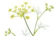 ウイキョウの花