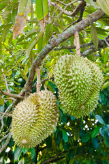 Fresh durians on the tree