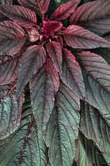 Red ornamental plant. Amaranth.