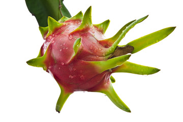 dragon fruit on a tree isolate on white background