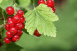 Johannisbeeren im Garten, red currants