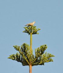 turtle dove perched on araucaria tree