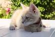 Chaton joue sur la table mignon adorable blanc beige