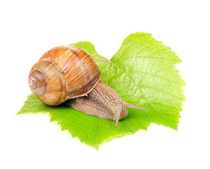 Roman (Edible) Snail on Grape Leaf Isolated on White Background