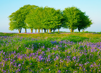 Beech trees and bluebells in Somerset England