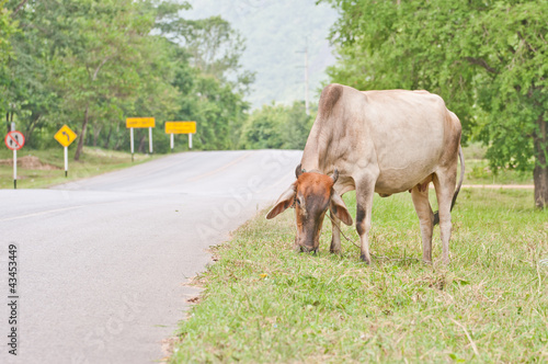 Cows on the side of a road Poster