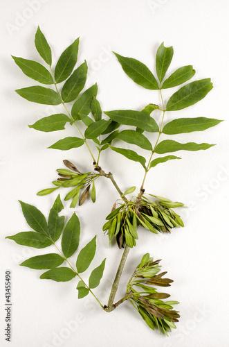Fraxinus excelsior / Frêne élevé