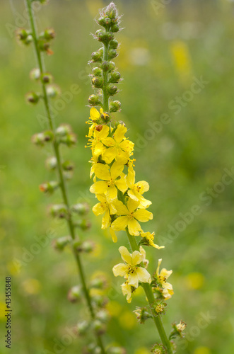 Agrimonia eupatoria / Aigremoine eupatoire