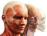 anatomie koncept